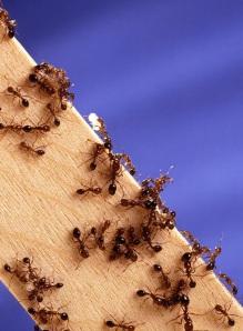 Fire Ants 1